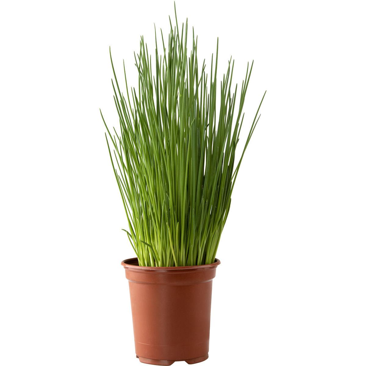 Carrefour Bio Ciboulette en pot